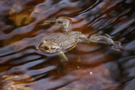 image date: Moor frog (Rana arvalis) floating on the water with soft reflections. Stock Photo