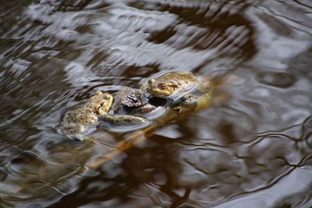 Three moor frogs (Rana arvalis) sitting on stick in water with soft reflections.