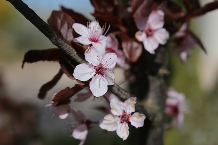 prunus cerasifera: Pink blossoms of a cherry plum (Prunus cerasifera).