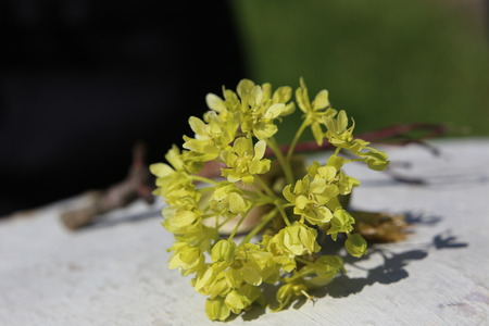 acer platanoides: Blossoms of the Norway Maple (Acer platanoides)