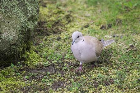turdidae: A Eurasian collared dove (Streptopelia decaocto) on the grass.