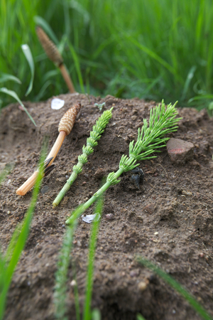 image created 21st century: Three stems of the field horsetail (Equisetum arvense). The left one is a fertile, spore bearing stem while the other two are sterile. Stock Photo
