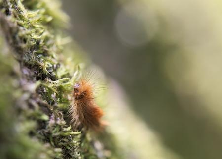 image created 21st century: Hairy caterpillar of the ruby tiger (Phragmatobia fuliginosa). Stock Photo