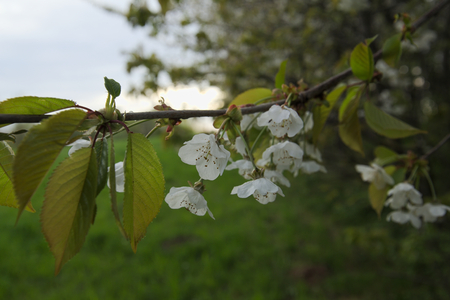 sour cherry: White blossoms of the sour cherry (Prunus cerasus).