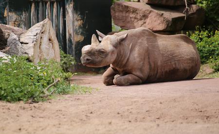 medium shot: Black rhinoceros (Diceros bicornis) with a cut off horn sitting on the ground.