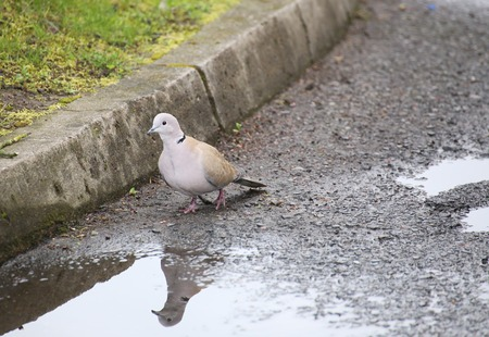 medium shot: A Eurasian collared dove (Streptopelia decaocto) at the side of the curb.
