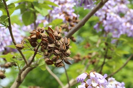 spent: Spent fruits of the princess tree (Paulownia tomentosa). Stock Photo