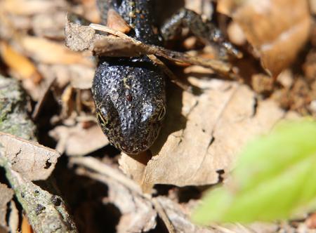 newt: An alipne newt (Ichthyosaura alpestris) sitting on the ground in the sun.