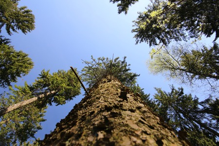 distorted image: View from below a mighty pine tree (Pinus).