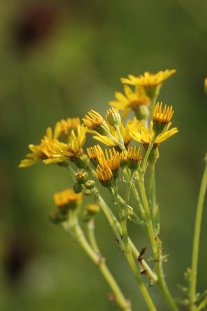 willy: Blossoms of the ragwort (Senecio jacobaea).