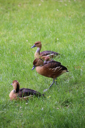 fulvous: Several fulvous whistling ducks (Dendrocygna bicolor) on the grass.