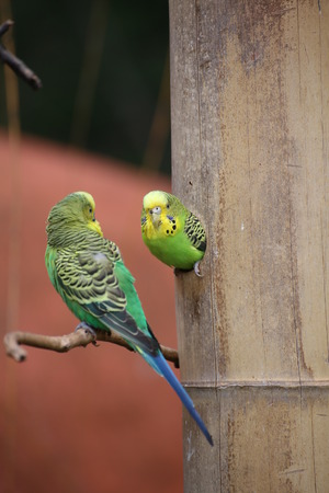 medium shot: Budgie (Melopsittacus undulatus) sitting in a hole in the wood with another one in front of it. Stock Photo