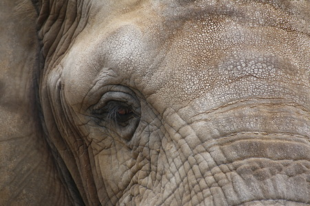 image date: Close up of the face of an african elephant (Loxodonta africana).
