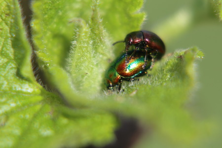 narrow depth of field: Two dead-nettle leaf beetle (Chrysolina fastuosa) in the act of mating on a deadnettle. Narrow depth of Field. Stock Photo