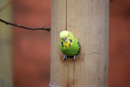 undulatus: Budgie (Melopsittacus undulatus) sitting in a hole in the wood. Stock Photo