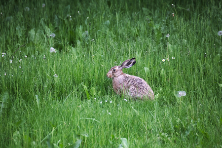 alertness: European hare (Lepus europaeus) sitting in grass and watching in alertness. Stock Photo