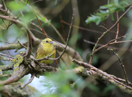 image date: Yellowhammer (Emberiza citrinella) sitting on a twig.