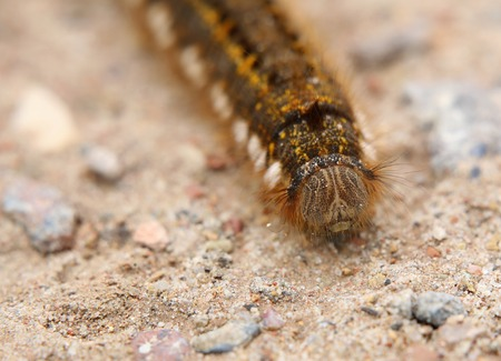 euthrix potatoria: Drinker (Euthrix potatoria) caterpillar on a gravel ground, seen from the front.