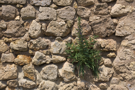 architectural feature: A fieldstone wall with blueweed (Echium vulgare) growing on it..