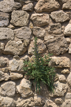 building feature: A fieldstone wall with blueweed (Echium vulgare) growing on it..