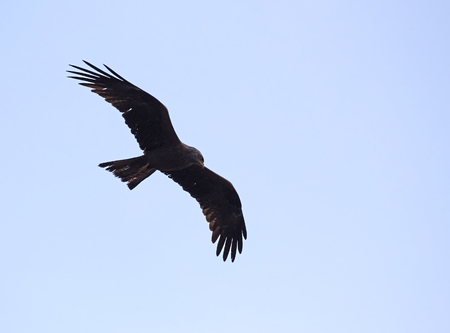 milvus: A black kite (Milvus migrans) foraging.