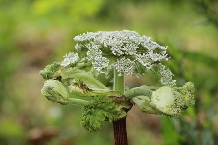umbel: An umbel of the giant hogweed (Heracleum mantegazzianum). Stock Photo