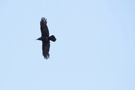 medium shot: Flight silhouette of Raven (Corvus corax) on blue sky.