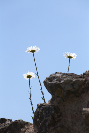 Conceptual back lit shot of three daisy family plants growing into the blue sky. Stock Photo