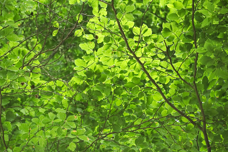 image date: Upward view in beech forest, usable as leaf background.
