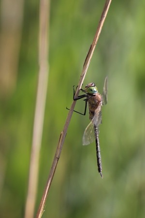 reed stem: Male lesser emperor (Anax parthenope) sitting on a reed stem.