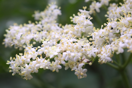 elder tree: Close up of elder (Sambucus nigra) flower.