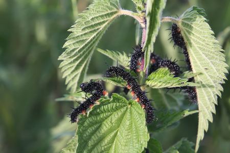 stinging  nettle: Caterpillars of the peacock butterfly (Aglais io) eating stinging nettle (Urtica dioica) leaves.