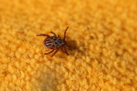arachnidae: A European tick of the species Dermacentor reticulatus.