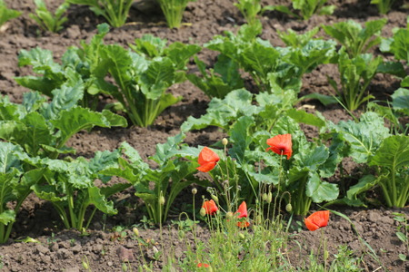 papaver rhoeas: Corn poppy (Papaver rhoeas) in a lettuce field.