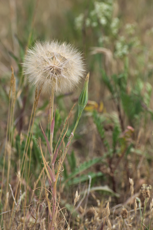 image created 21st century: Goats beard (Tragopogon dubius) with pappus and seeds.