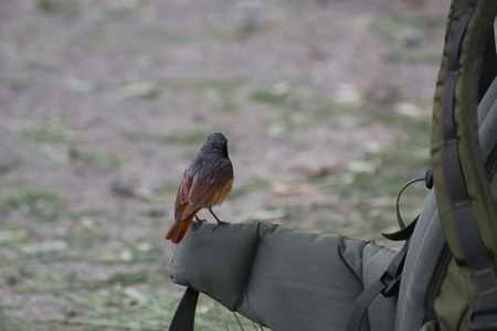 image created 21st century: Common redstart (Phoenicurus phoenicurus) sitting on the side of a backpack.