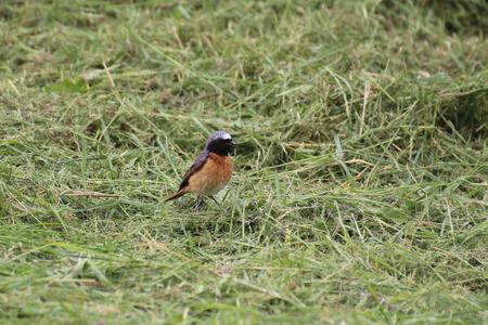 image created 21st century: Common redstart (Phoenicurus phoenicurus) sitting in the grass.