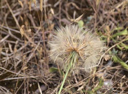 pappus: Goats beard (Tragopogon dubius) with pappus and seeds.