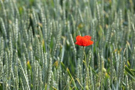 image created 21st century: Corn poppy (Papaver rhoeas) in a wheat field. Stock Photo