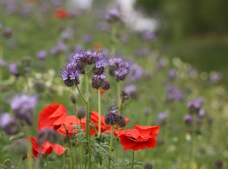 lavender coloured: Blue tansy (Phacelia tanacetifolia) with corn poppy (Papaver rhoeas).