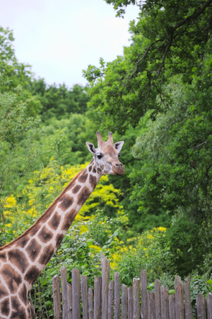palisade: Rothschilds Giraffe (Giraffa camelopardalis rothschildi) in front of green trees and palisade.