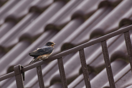 barn swallow: Young barn swallow (Hirundo rustica) sitting on a roof. The image has strong brown an red colors.