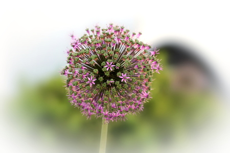 image date: Blossoms of Allium macleanii, an ornamental species of leek.