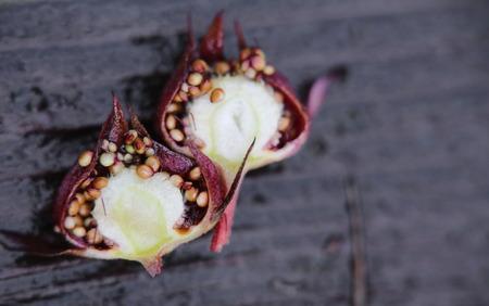palustre: Cross-section of purple marshlocks (Comarum palustre) fruits. Stock Photo