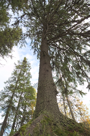 ''wide angle'': Wide angle shot of a big pine tree from below. Stock Photo