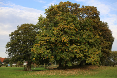 basswood: An autumnly grove in Wackerow, Mecklenburg-Vorpommern, Germany. Stock Photo