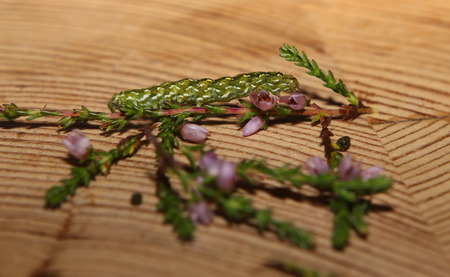 underwing: Beautiful Yellow Underwing (Anarta myrtilli) on common heather (Calluna vulgaris).
