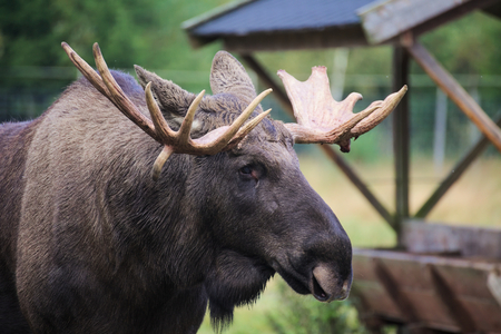 mighty: Head of an elk (Alces alces) with mighty antlers.