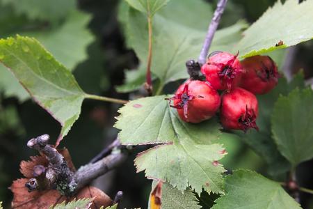 nature photo: Macro of Redhaw Hawthorn (Crataegus sanguineum) fruits.