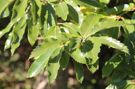 sativa: Several leaves of the sweet chestnut (Castanea sativa).